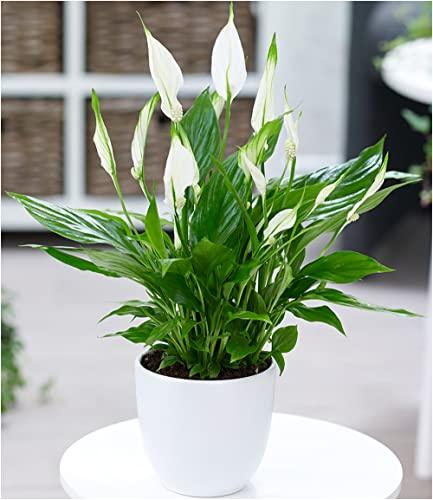 BALDUR-Garten Spathiphyllum, 1 Pflanze Zimmerpflanze Einblatt - 2