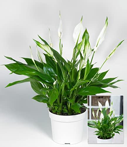 BALDUR-Garten Spathiphyllum, 1 Pflanze Zimmerpflanze Einblatt - 3