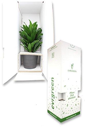 EVRGREEN |Zimmerpflanze Kolbenfaden in Hydrokultur mit schwarzem Topf als Set | Agloaonema commutatum Maria Christina - 2