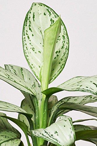EVRGREEN |Zimmerpflanze Kolbenfaden in Hydrokultur mit schwarzem Topf als Set | Agloaonema commutatum Maria Christina - 3