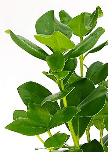 BOTANICLY   Zimmerpflanze   Clusia Princess   35 cm - 2